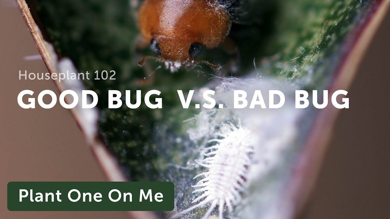 Houseplant 101 Control Houseplant Pests Thrips Mealybugs Spider Mites Aphids More Ep 123 Youtube In 2020 Spider Mites House Plants Aphids