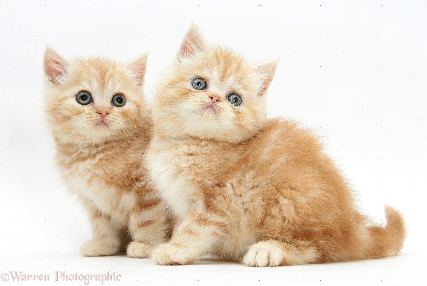 WP Ginger kittens catfacts More fact about cat at