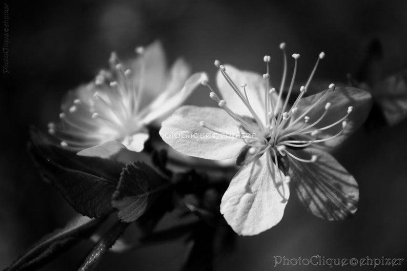 Artystyczne Zdjecia Kwiatow Czarno Biale Szukaj W Google Fine Art Photography Print White Cherry Blossom Fine Art Photography