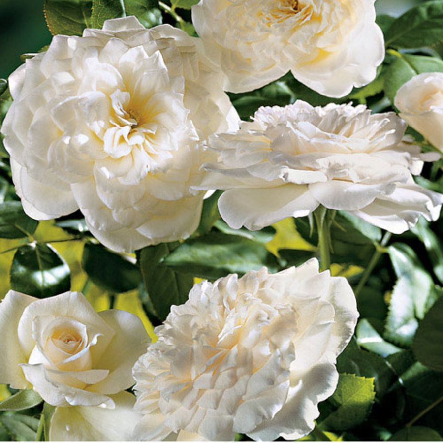 Pure Perfume White Shrub Rose  - Really does smell like grapefruit!   Love this rose!!!