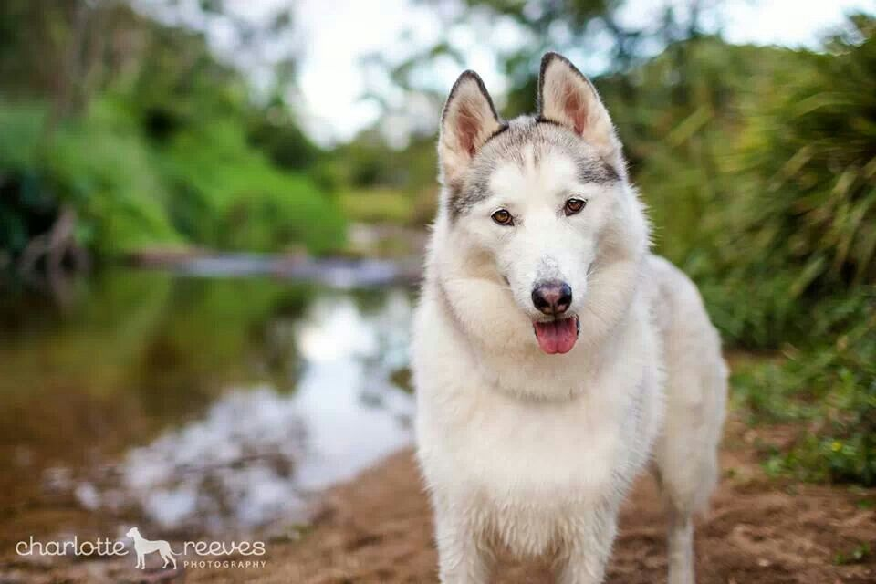 Sweet Miss Luca Blue The Husky Charlotte Reeves Photography Dog