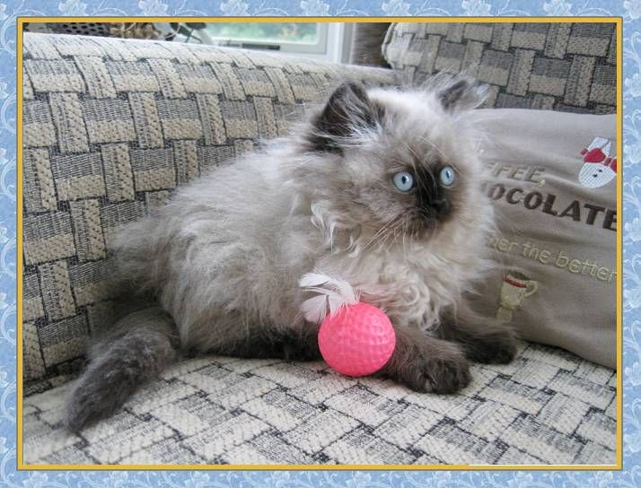 Himalayan Kitten Pictures Traditional Dollface Himalayans Himalayan Kitten Kitten Pictures Himalayan Cat