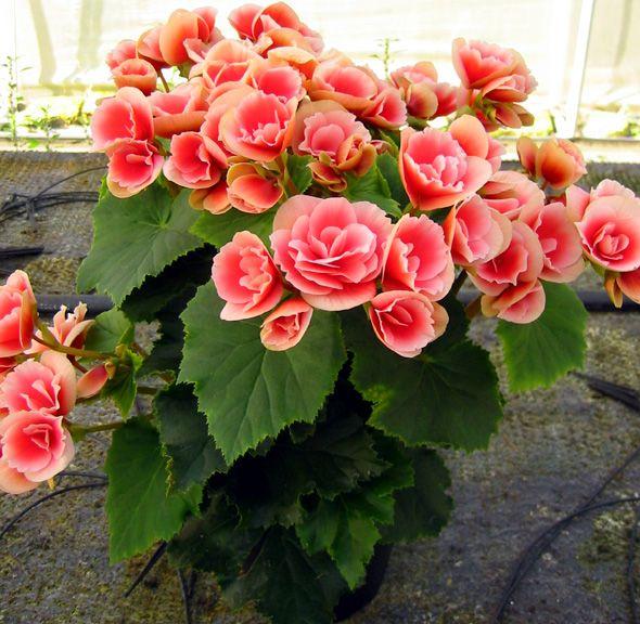 begonia tuberosa plantas y flores pinterest jardines