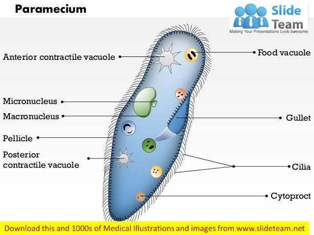 Image Result For Amoeba Diagram In Color Bacterium Pinterest