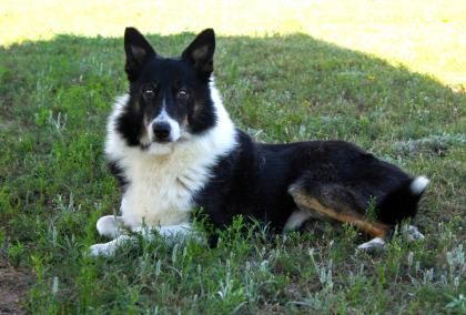 Colorado 9 14 16 Petango Com Meet Gabe A 7 Years 2 Months Border Collie Mix Available For Adoption In Colorado Springs Co Dog Adoption Pets Dogs