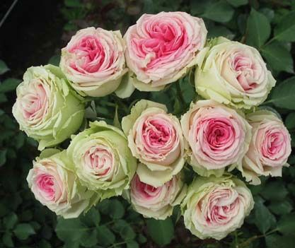 Examples Of Different Types Of Roses With Name Of The Rose Scent Garden Rose Varieties Flowers