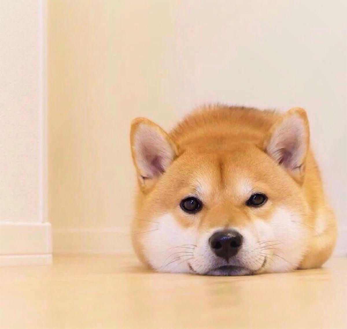 Pin By Shiba Tearoom On Shiba Shiba Inu Dog Shiba Puppy Japanese Dogs