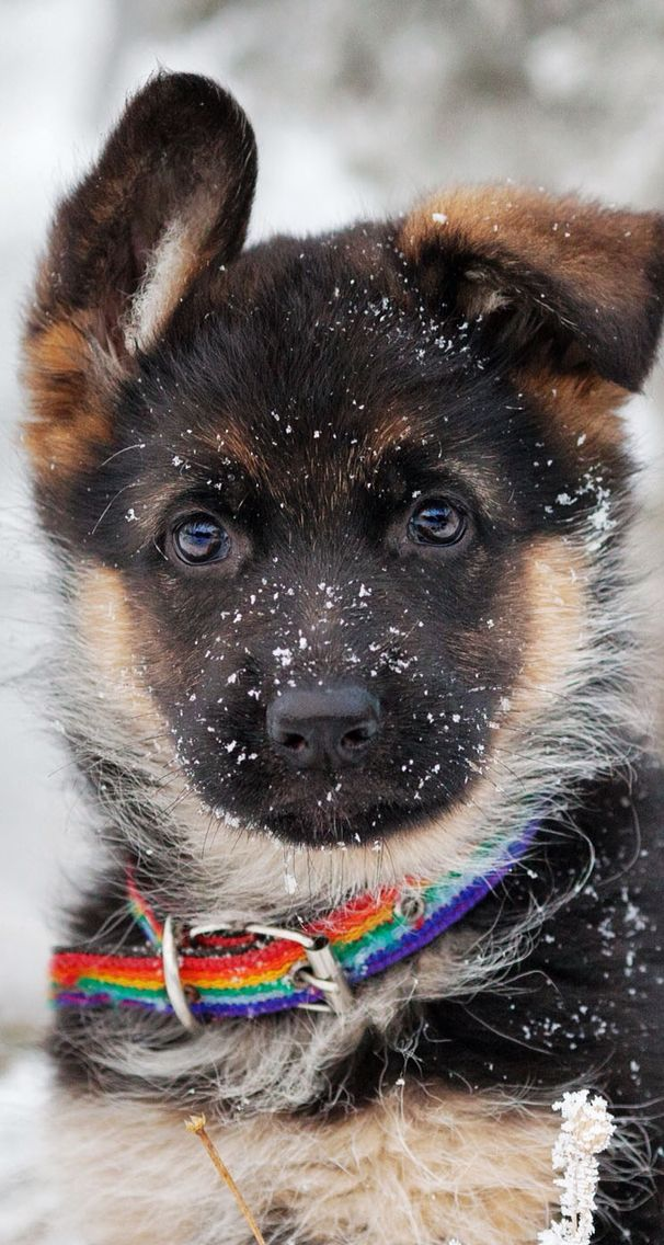 German Shepherd Puppy In The Snow Ios8 Hd Wallpaper For Iphone And