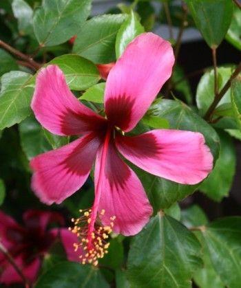 Fiji Island Tropical Hibiscus Hibiscus Flower Pots Hibiscus
