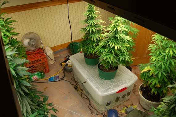 deep water culture Greenhouse Pinterest Deep water and Cannabis