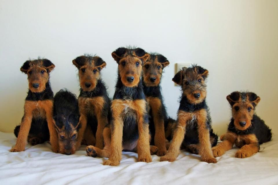 Pin By Jorge Baima On Airedale Terrier Airedale Terrier Dogs