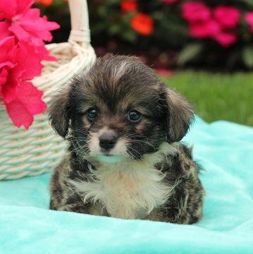 Pembroke Welsh Corgi Poodle Toy Mix Puppy For Sale In Gap Pa Adn 44941 On Puppyfinder Com Gender Male Age 5 Weeks Old Corgi Puppies For Sale