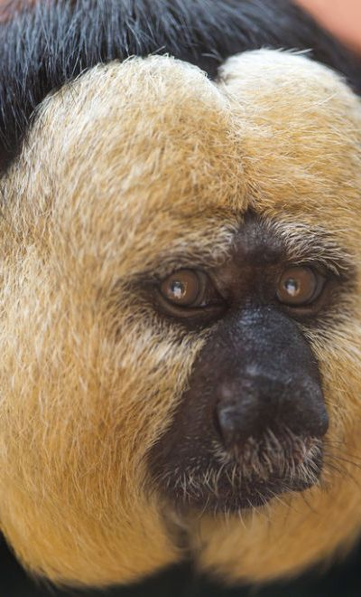 Saki Monkey's range includes northern and central South America, extending from the south of Colombia, over Peru, in northern Bolivia. and into the central part of Brazil. Saki Monkey by Tambako the Jaguar