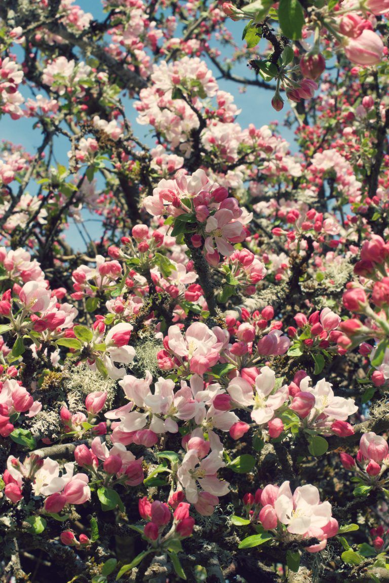 Apple Blossoms | HungryHeart.se