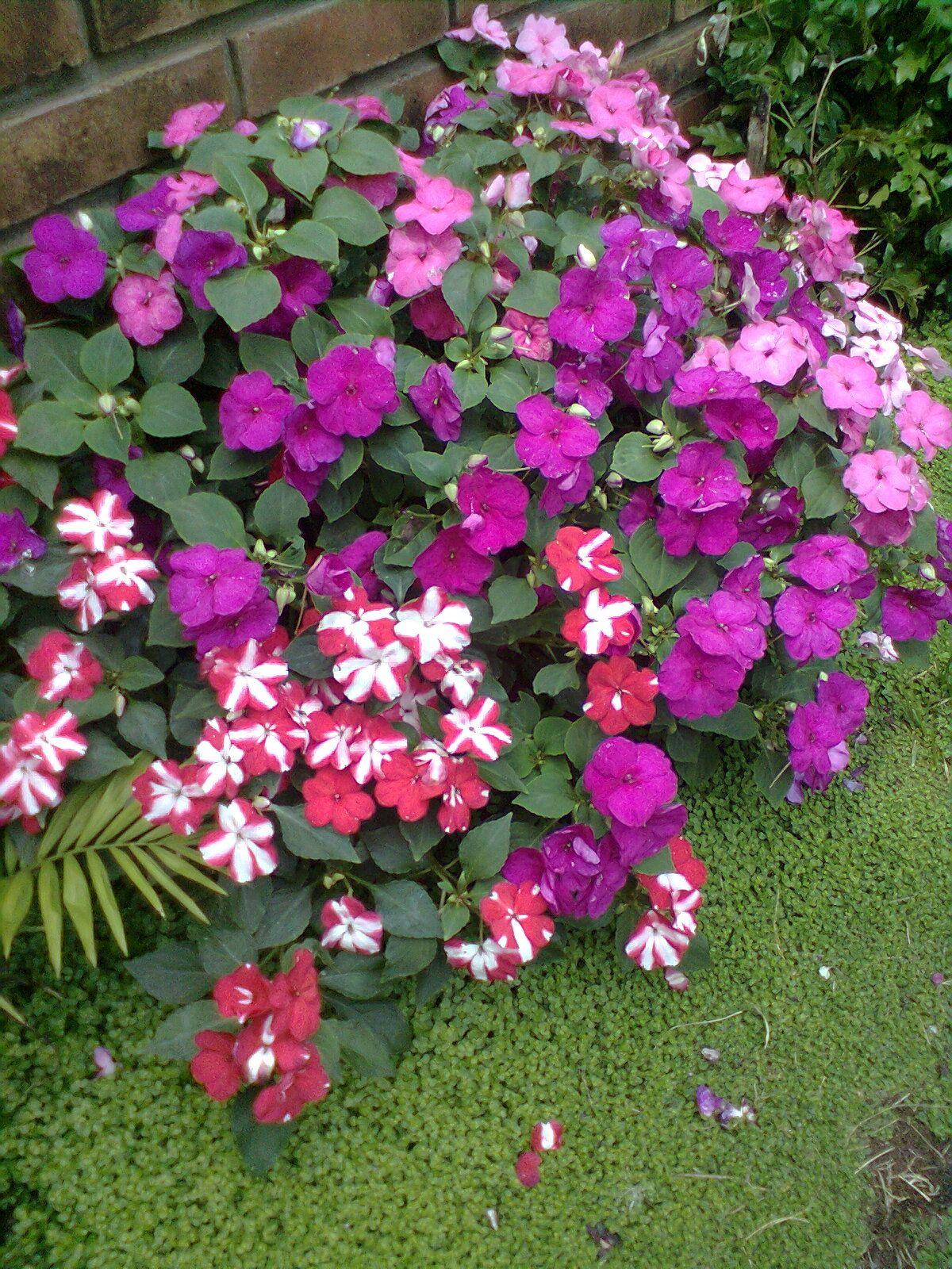 Alegrias del hogar flores y plantas alegria del hogar jardiner a y alegria - Planta alegria del hogar ...