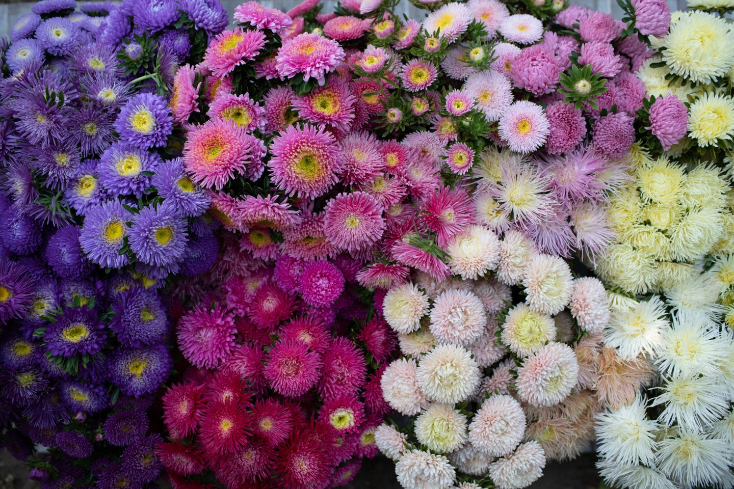 The Amazing World Of China Asters Floret Flowers In 2020 Flower Farm Aster Flower Flower Garden