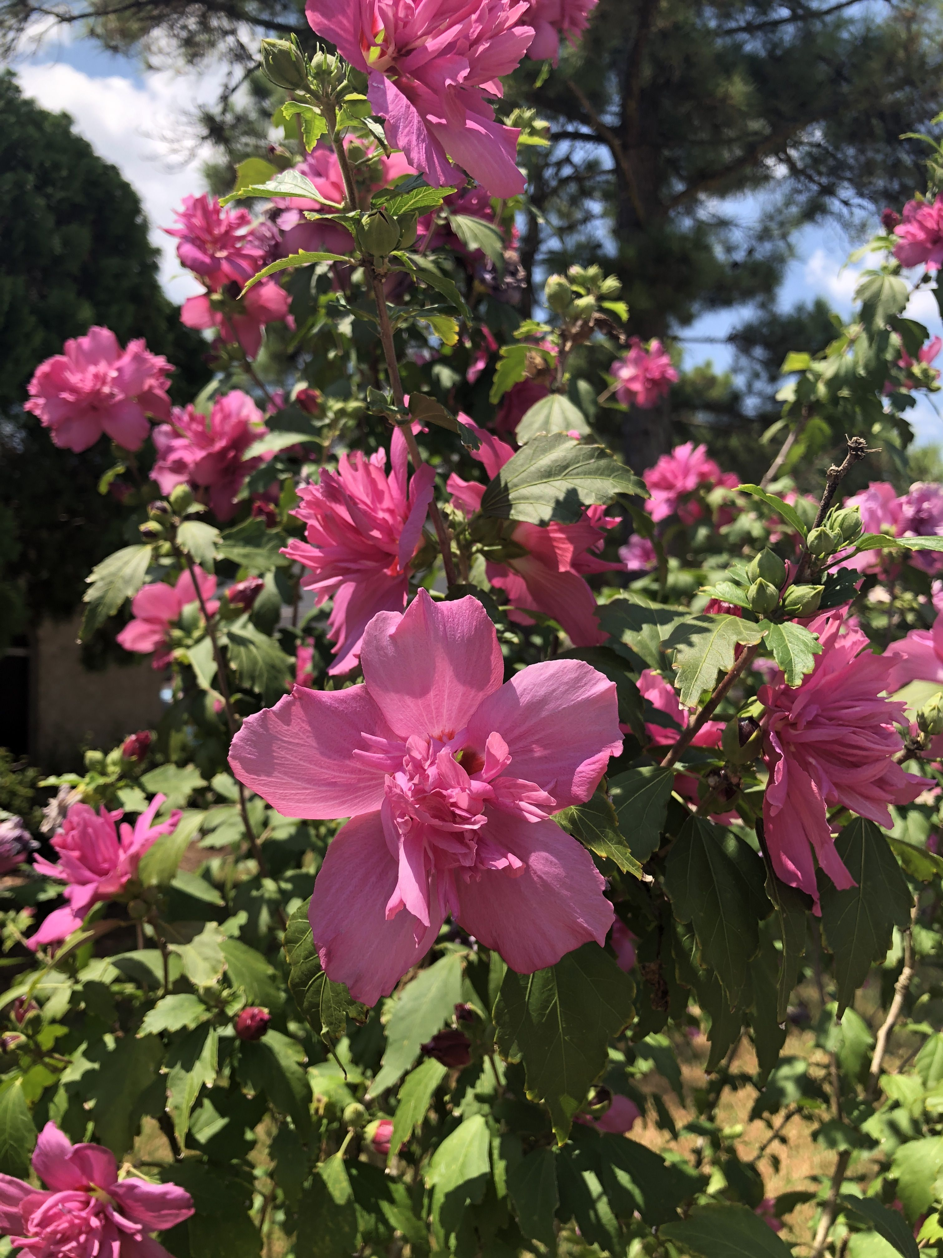 Beautiful Lucy Red Pink Double Althea Rose Of Sharon These Are