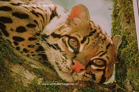 Ocelot (Leopardus pardalis) - Wild Cats Magazine