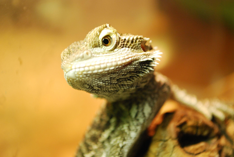 Have A Bearded Dragon Bearded Dragon Cutest Animals On Earth Dragon
