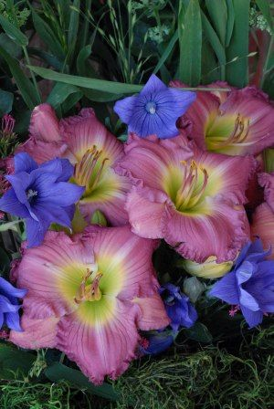 Daylily Lavender Stardust