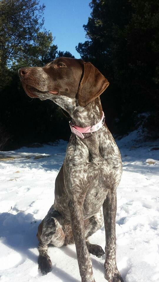 Gsp Snow Dog Friends Hungarian Dog Hunting Dogs Breeds