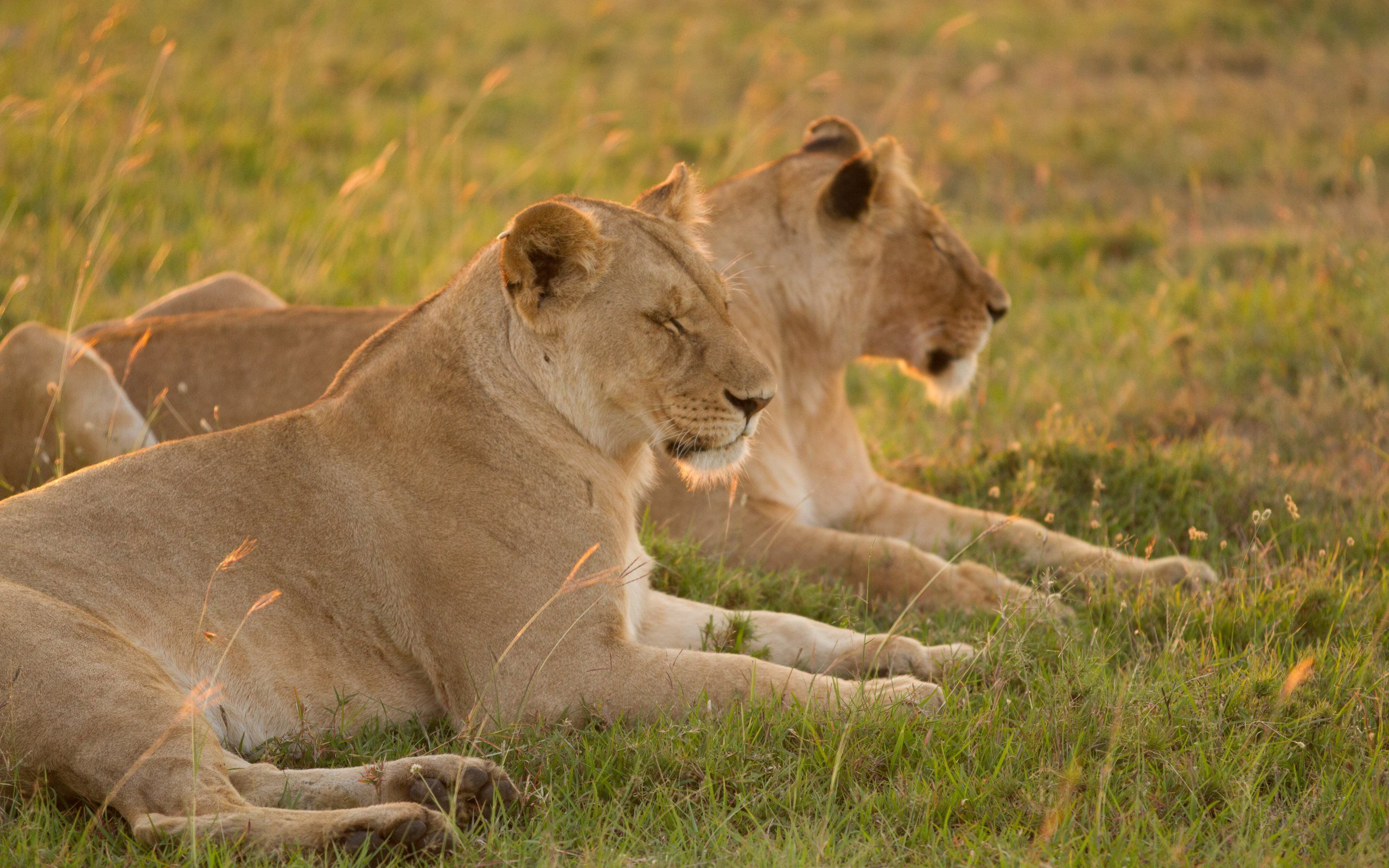 Lionesses From Masai Mara Animals Hd Wallpapers Hd Wallpaper