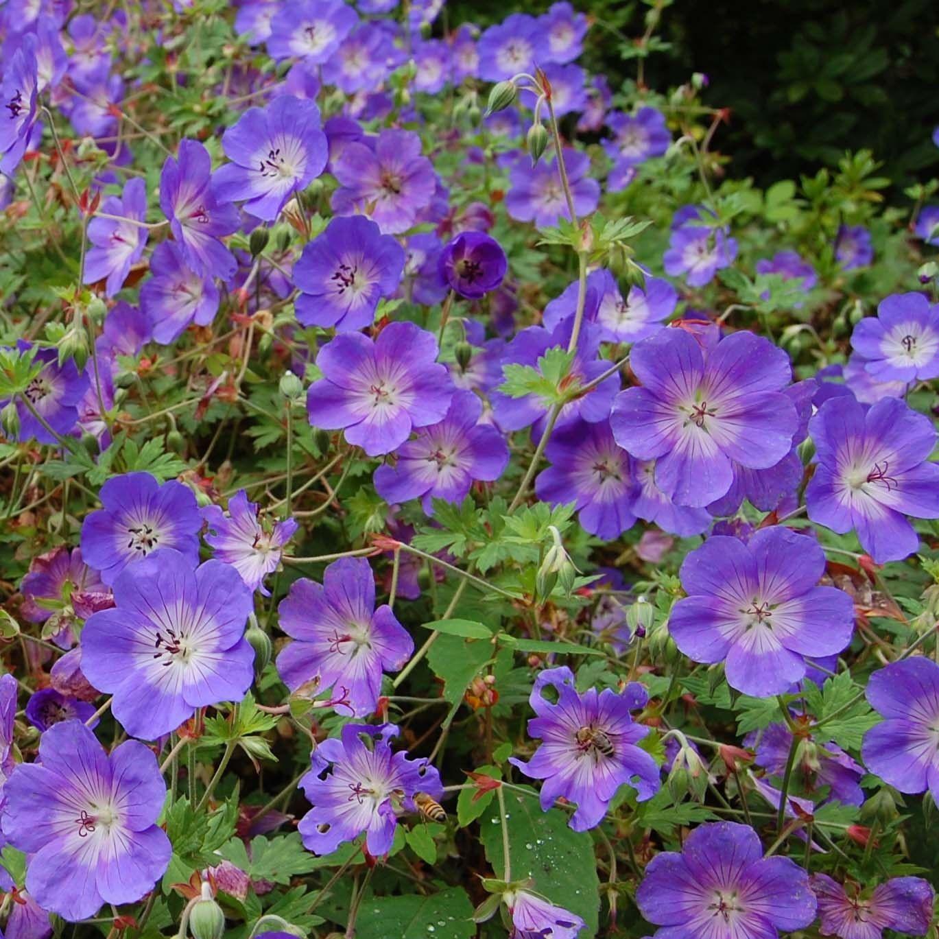 Géranium vivace Rozanne Des tapis de fleurs bleues à