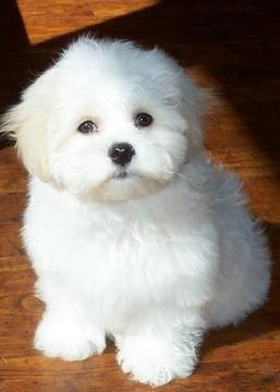 Shichon Puppy Adorable Shichon Puppies Teddy Bear Puppies Cute Dogs