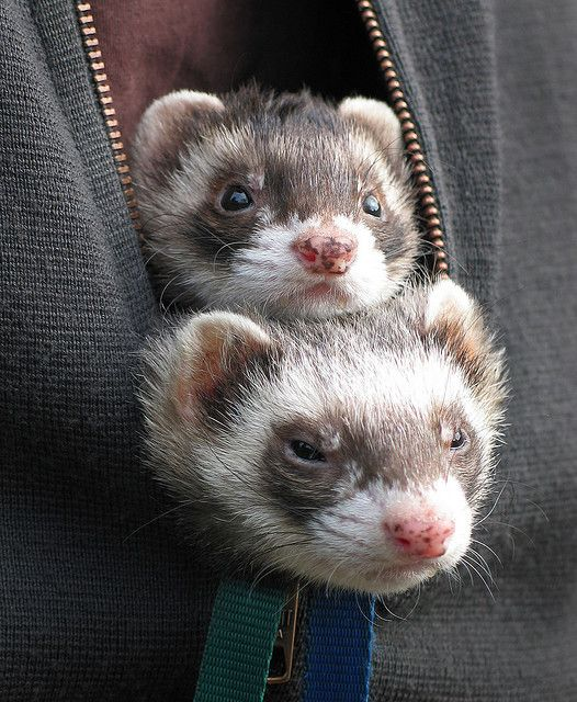Untitled Cute Ferrets Ferret Pet Ferret