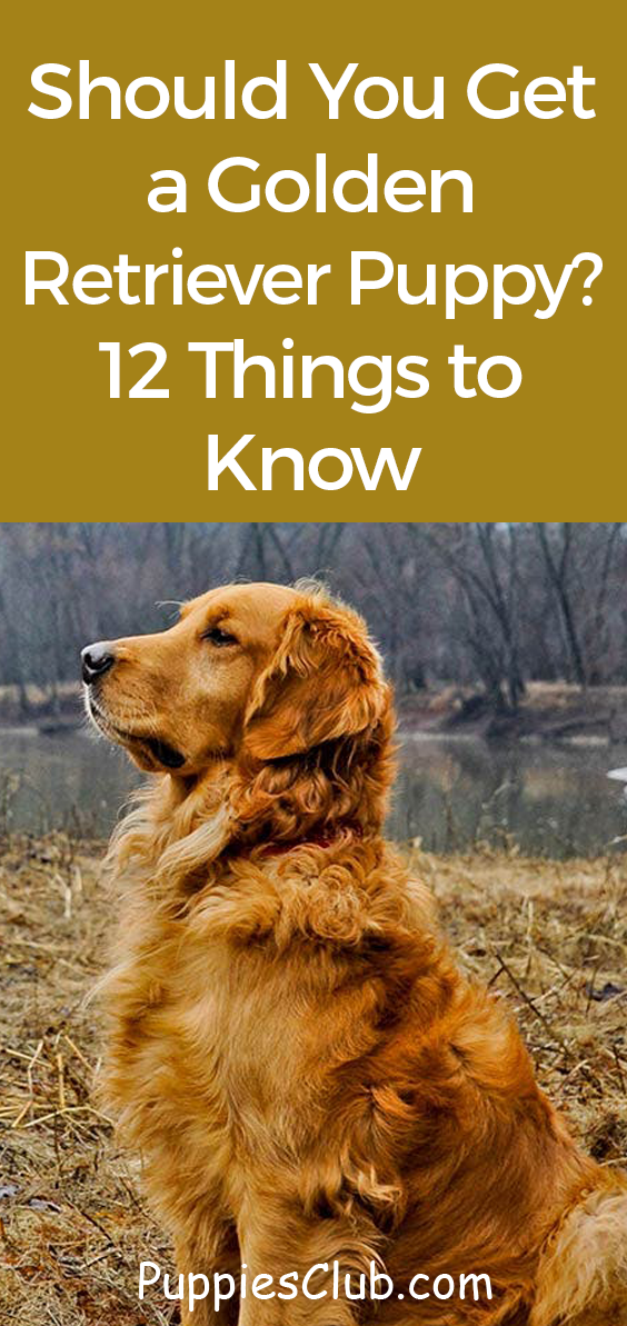 Should You Get A Golden Retriever Puppy 12 Things To Know With