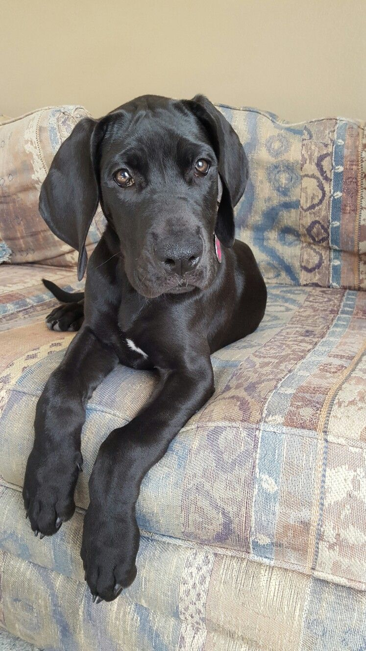 My Lil Remmy Great Dane 12 Weeks Old Great Dane Dogs Great