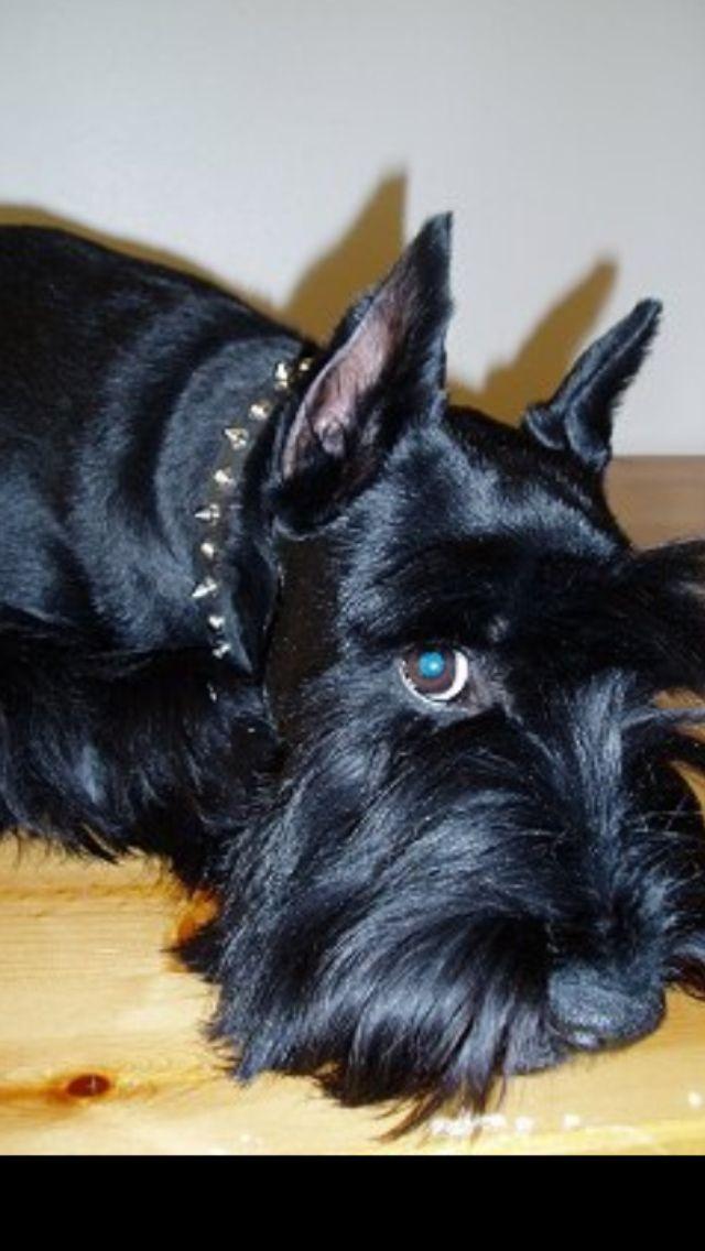 Looks Like My Daphne Schnauzer Dogs Schnauzer Standard Schnauzer