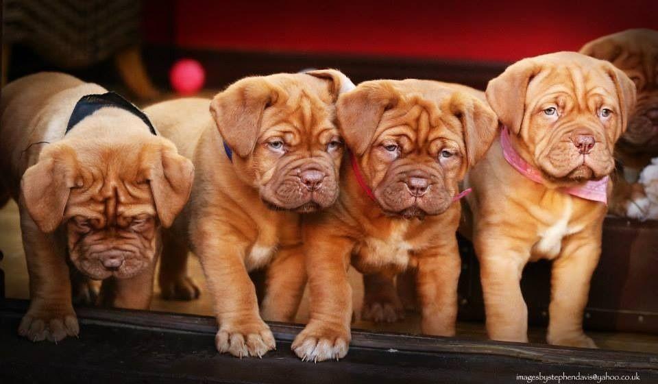Last Three Dogue De Bordeaux Puppies For Sale Mastiff Puppies