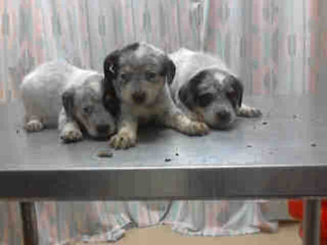 Popsicle Houston Texas Petharbor Com Animal Shelter Adopt A