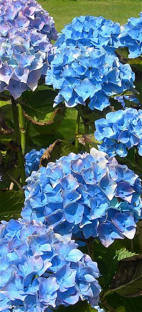 What Colours Hydrangea Garden Planting Flowers Flowers Nature