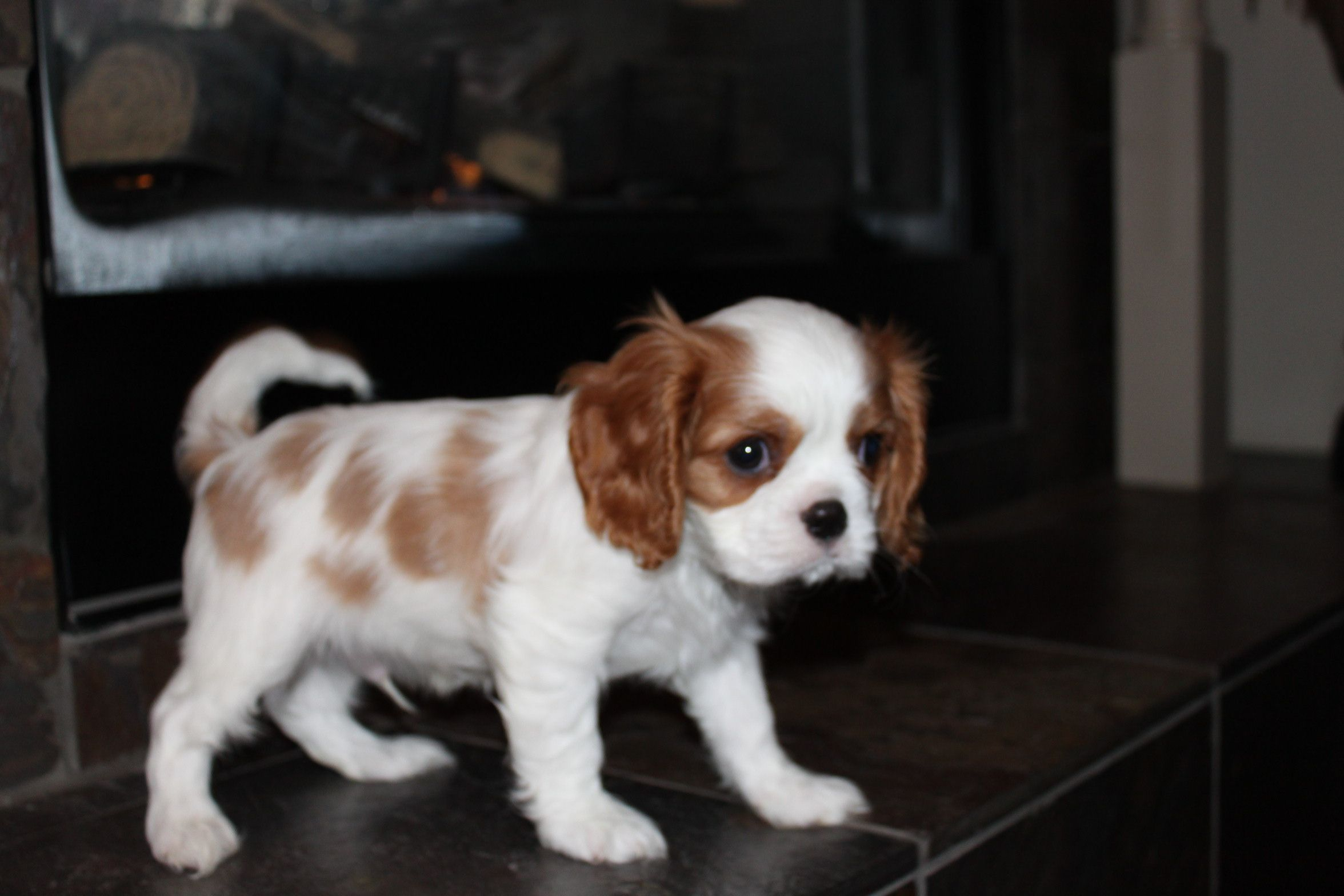 Cavalier King Charles Spaniel Puppies for Sale Breeder