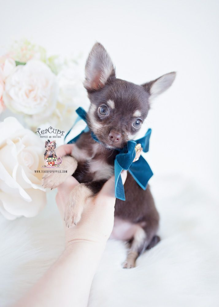 This special pomeranian puppy will brighten your day. Dogs are wonderful creatures. #pomeranianpuppy #cuteteacuppuppies