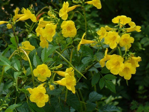 Gold star esperanza yellow bells yellow elder trumpet bush gold star esperanza yellow bells yellow elder trumpet bush esperanza tecoma mightylinksfo Images
