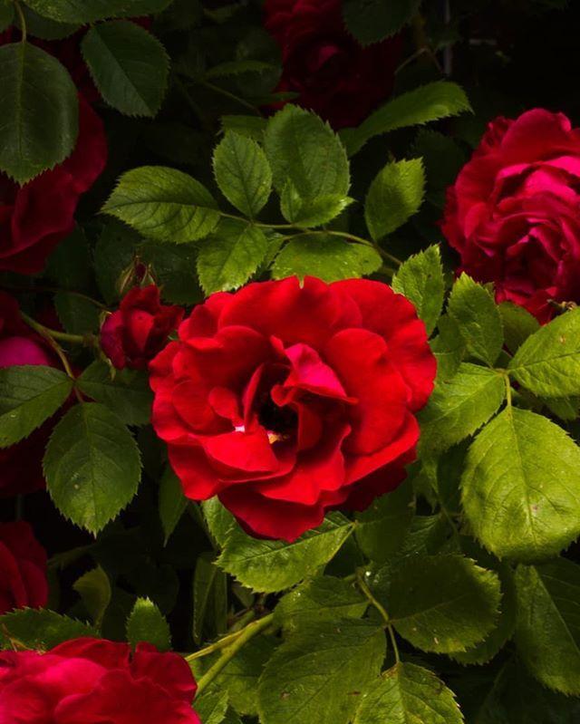 Passion. ⠀⠀⠀⠀⠀⠀⠀⠀⠀⠀⠀⠀ ⠀⠀⠀⠀⠀⠀⠀⠀⠀⠀⠀⠀ ⠀⠀⠀⠀⠀⠀⠀⠀⠀⠀⠀⠀ ⠀⠀⠀⠀⠀⠀⠀⠀⠀⠀⠀⠀ ⠀⠀⠀⠀⠀⠀⠀⠀⠀⠀⠀⠀ ⠀⠀⠀⠀⠀⠀⠀⠀⠀⠀⠀⠀ ⠀⠀⠀⠀⠀⠀⠀⠀⠀⠀⠀⠀ #innergardeningwitheve #beauty #aesthetics #roses #redrose #vintagefeel #darkandgloomy #passion #red #selftherapy #macroflowers #macrorose #macrolover #macrophotography