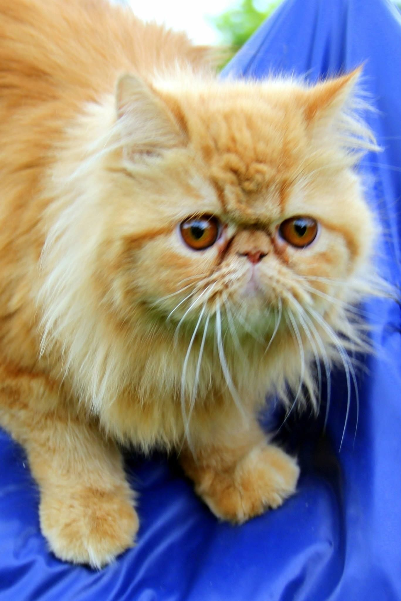 Ginger an orange persian cat Cute animals, Orange