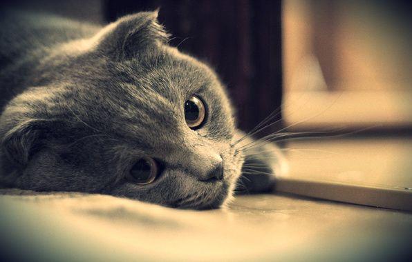 wallpaper cat brit cat gray eyes