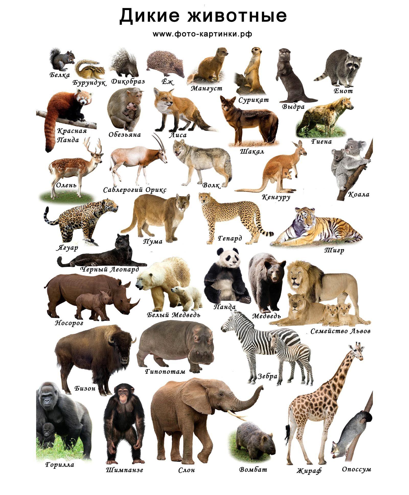 Картинки дикие животные для детей Дикие животные, Животные