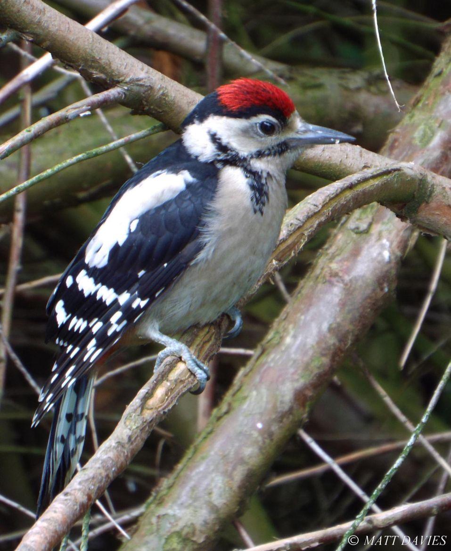 Photograph Woodpecker Fledgling by Matt Davies on 500px