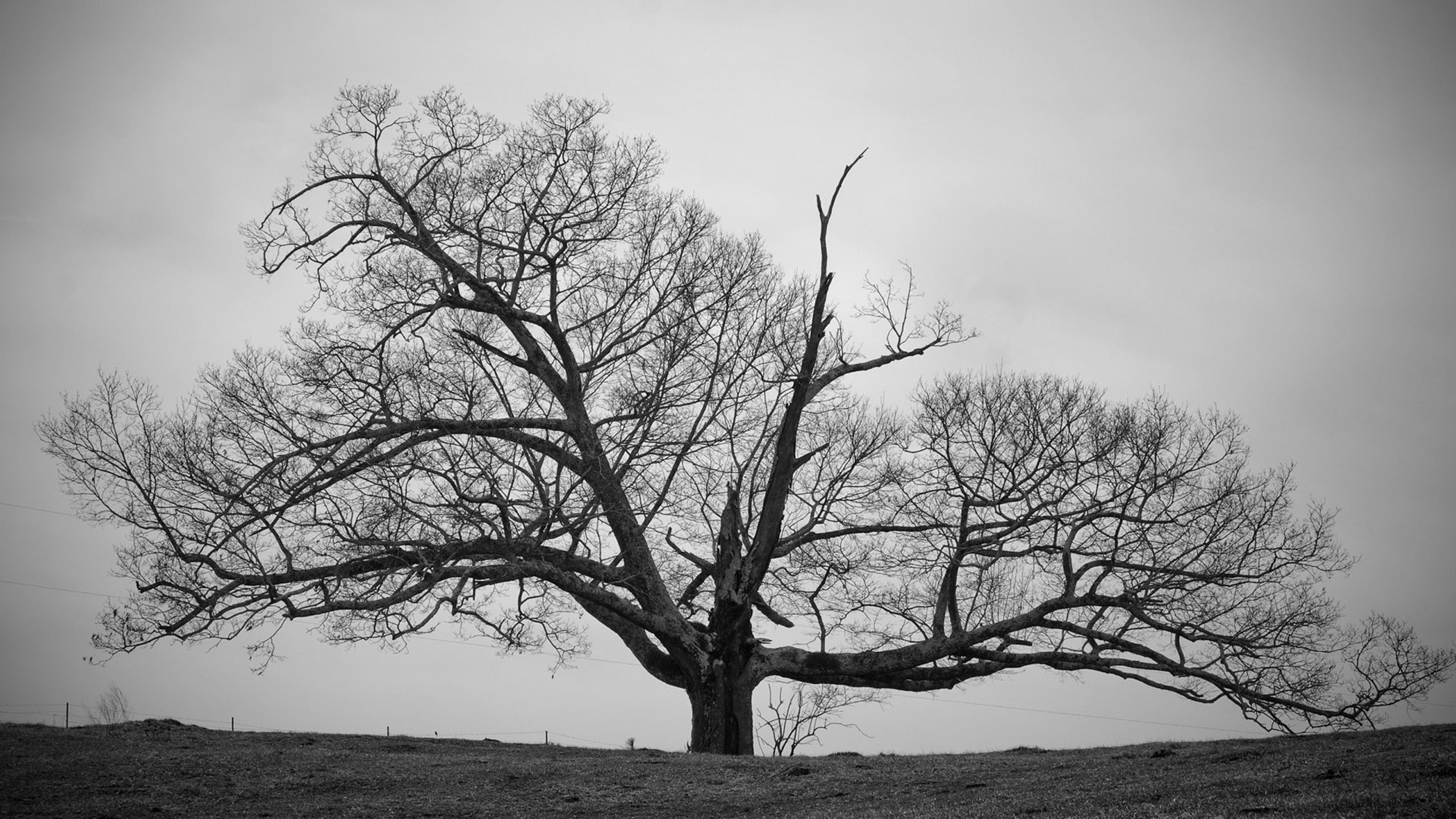 Old Tree Black and White Wallpapers HD decora§£o