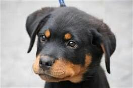 His Twin I Love Animals Pinterest Twins Rottweilers And