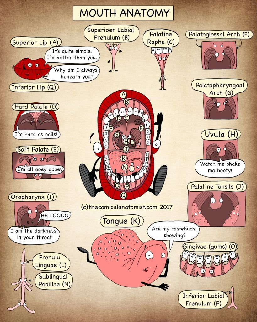 Mouth Gross Anatomy - The Comical Anatomist