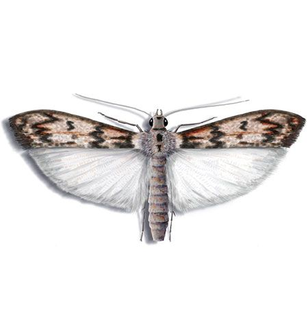 Mehlmotte Nachtfalter Mehlmotten Insekten
