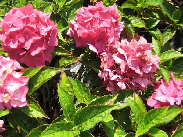18 Sommer blühende Sträucher für Ihren Garten