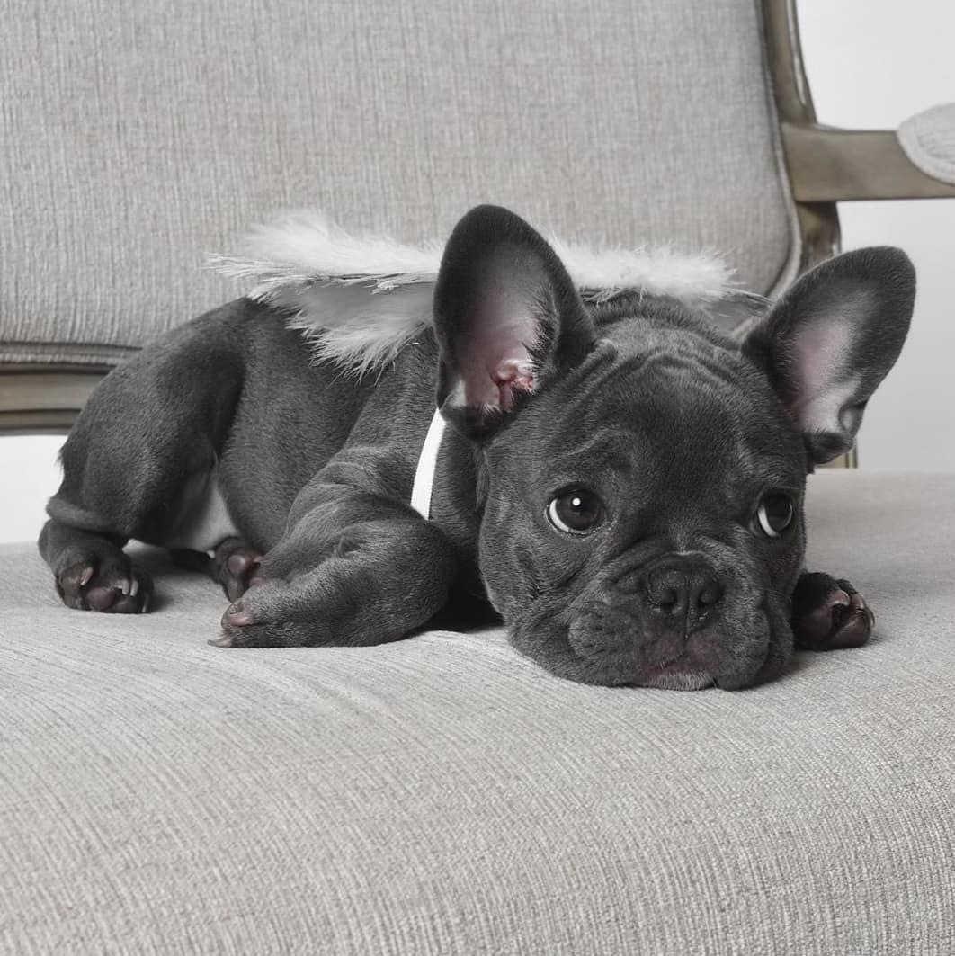 Frenchies Image By Trish Stallone In 2020 Potty Training Puppy