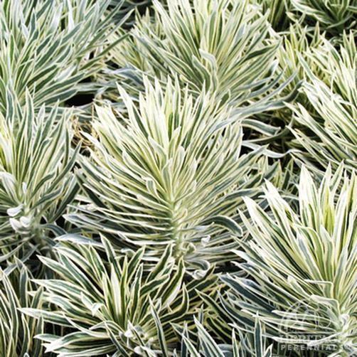 Euphorbia Tasmanian Tiger | Plant Profile for Euphorbia characias 'Tasmanian Tiger ...